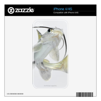 Tete sea catfish (Hexanematichthys seemanni) Decal For The iPhone 4