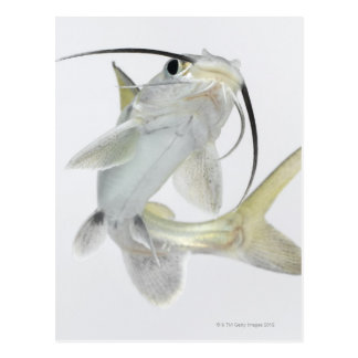 Tete sea catfish (Hexanematichthys seemanni) Postcard