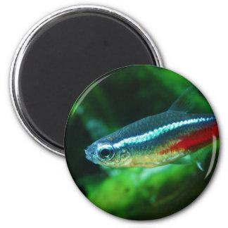 Tetra Paracheirodon de neón Innesi de los pescados Imán