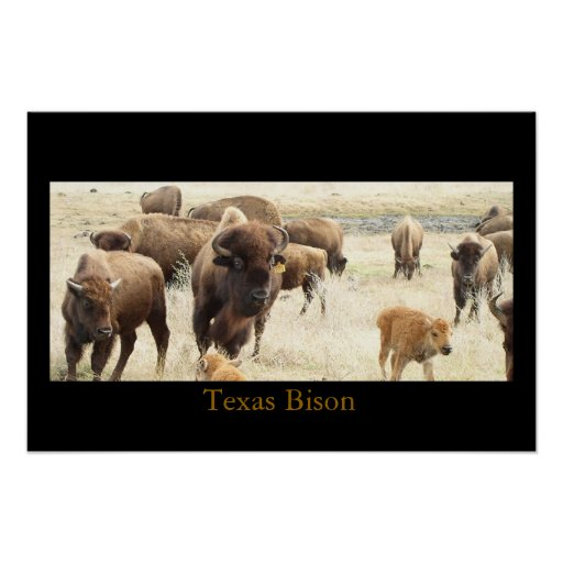 Texas Bison Posters