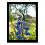 Texas Blue Bonnet Postcard