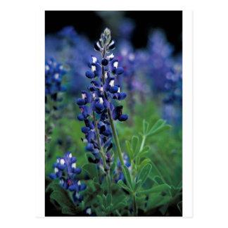 Texas Bluebonnet-2-Best Postcard