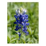Texas Bluebonnet Flower Postcard