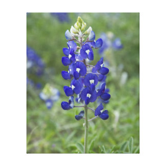 Texas Bluebonnet Wildflower Stretched Canvas Print