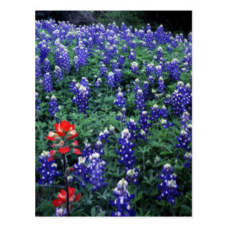Texas Bluebonnets and Indian Paintbrush Postcard