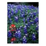 Texas Bluebonnets and Indian Paintbrush Postcards