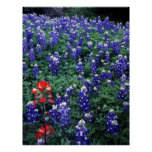 Texas Bluebonnets and Indian Paintbrush Print