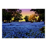 Texas Bluebonnets Covering a Field at Sunset Posters