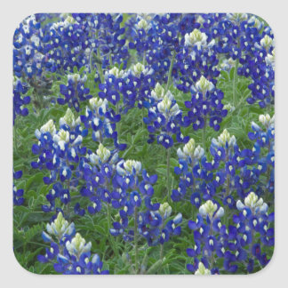 Texas Bluebonnets Field Photo Square Sticker