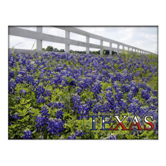 Texas Bluebonnets Postcard