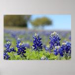 Texas Bluebonnets Poster
