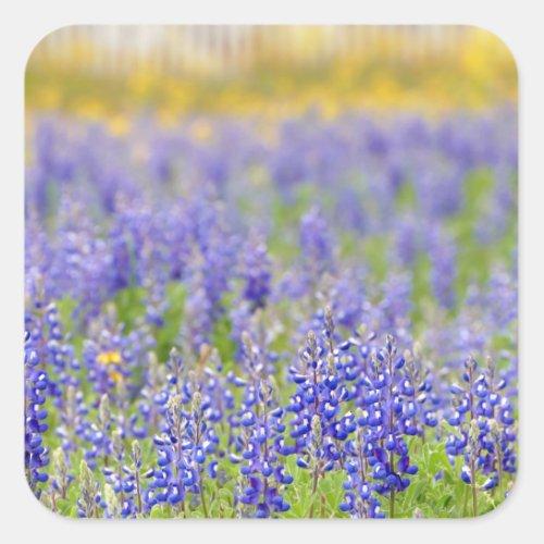 Texas Bluebonnets Square Sticker