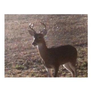 Texas buck postcard