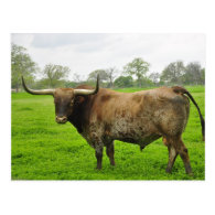 Texas Burnt Orange Longhorn Steer Post Card
