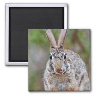 Texas cottontail rabbit 2 inch square magnet