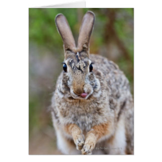 Texas cottontail rabbit greeting card