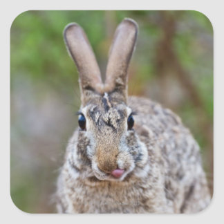 Texas cottontail rabbit square sticker