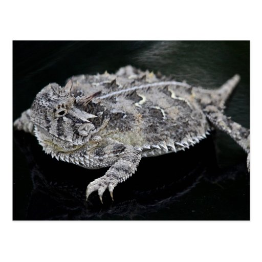 Texas Horned Lizard - Texas State Reptile Post Card