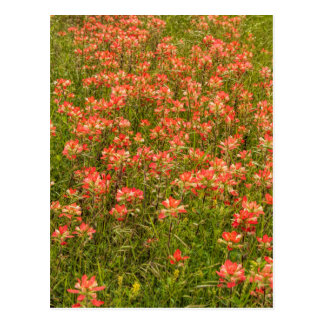 Texas Indian Paintbrush Wildflowers Post Cards