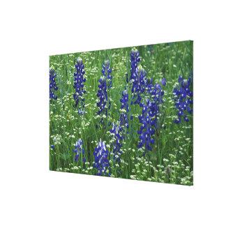 Texas, Lake Buchanan. Texas Bluebonnet and Wild Canvas Print