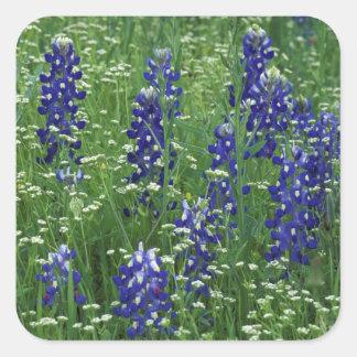 Texas, Lake Buchanan. Texas Bluebonnet and Wild Square Sticker