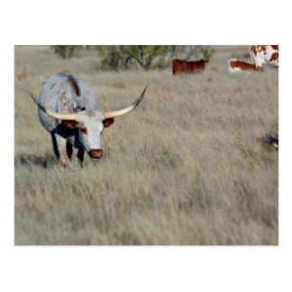Texas Longhorn 1 Postcard