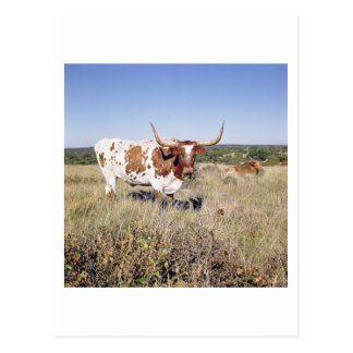 Texas Longhorn Breed (photo) Postcard