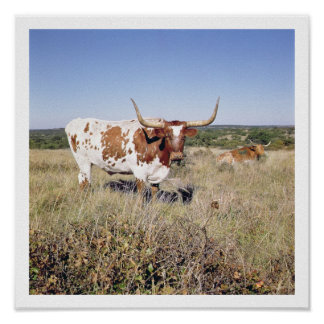 Texas Longhorn Breed (photo) Poster