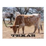 Texas Longhorn Postcard
