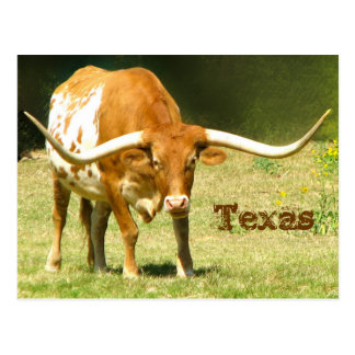 Texas Longhorn With Facts Postcard