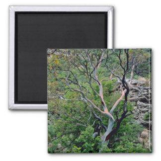 Texas Madrone Tree Fridge Magnet