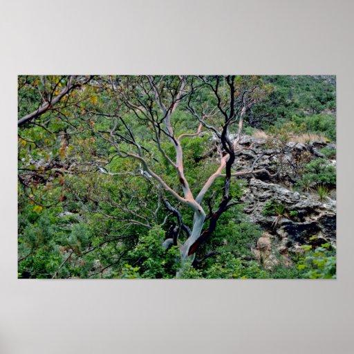 Texas Madrone Tree Print