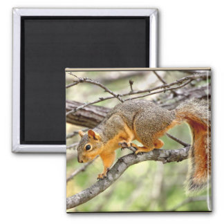 Texas Red Squirrel 2 Inch Square Magnet