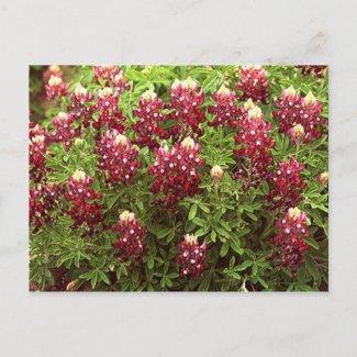 Texas Redbonnets postcard