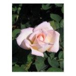 Texas Rose in Pink Postcard