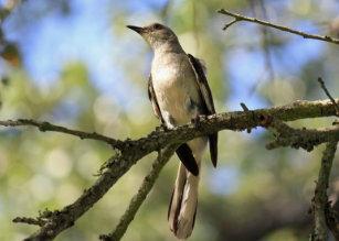 mockingbird texas state bird gifts on zazzle