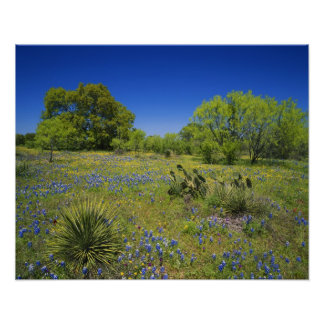 Texas, Texas Hill Country, Low bladderpod, Poster