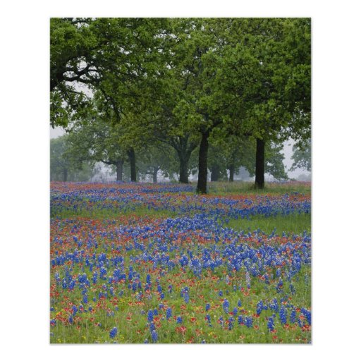Texas, Texas Hill Country, Texas Paintbrush and Poster