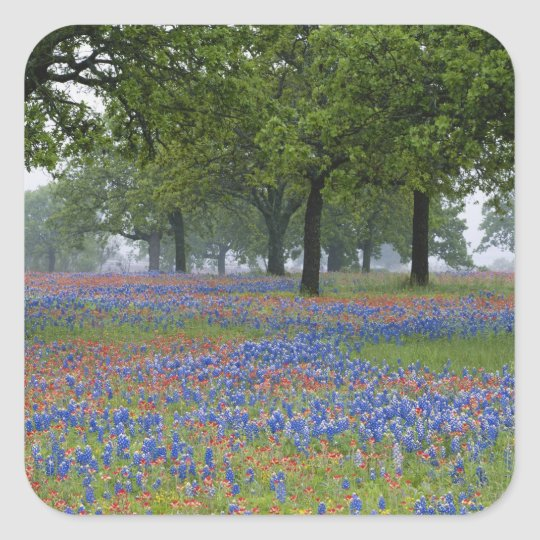 Texas, Texas Hill Country, Texas Paintbrush and Square Sticker
