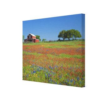Texas, Texas Hill Country, Texas paintbrush Canvas Print