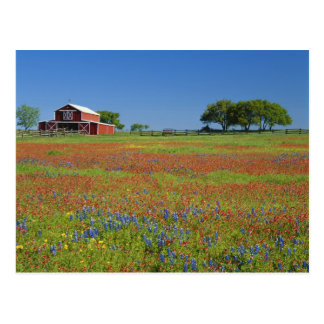 Texas, Texas Hill Country, Texas paintbrush Postcard