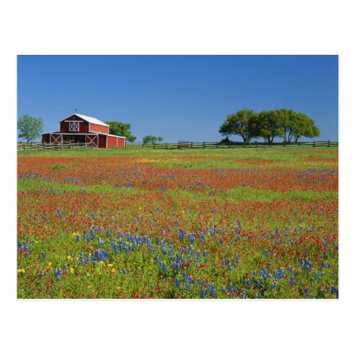Texas, Texas Hill Country, Texas paintbrush Post Cards