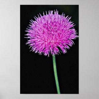 Texas thistle (Cirsium texanum)  flowers Poster