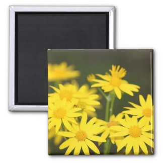 Texas Wildflower Early Spring Golden Ragwort Refrigerator Magnet