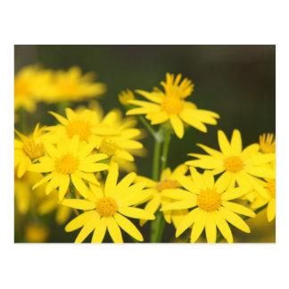 Texas Wildflower Early Spring Golden Ragwort Postcard