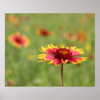 Texas Wildflowers - Indian Blanket Flower - poster