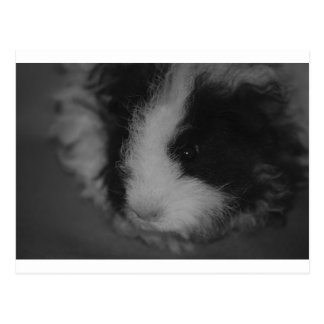 Texel Guinea Pig in Black and White Postcard