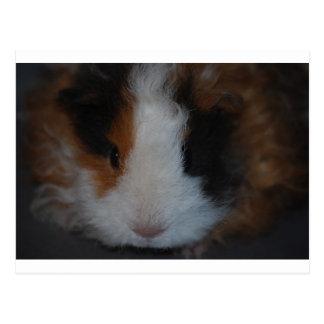 Texel Guinea Pig Postcard