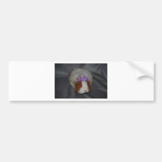 Texel Guinea Pig with bow Bumper Sticker