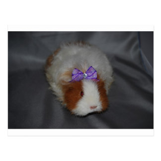 Texel Guinea Pig with bow Postcard